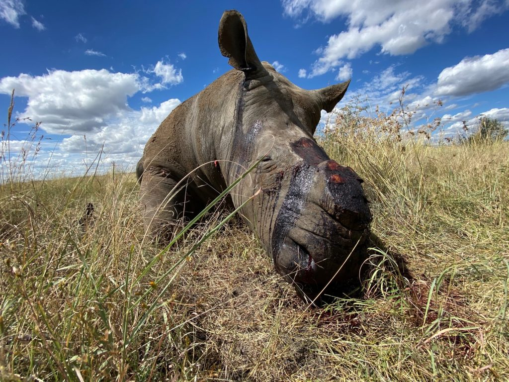 Rhino poaching on the rise as SA eases international travel restrictions.